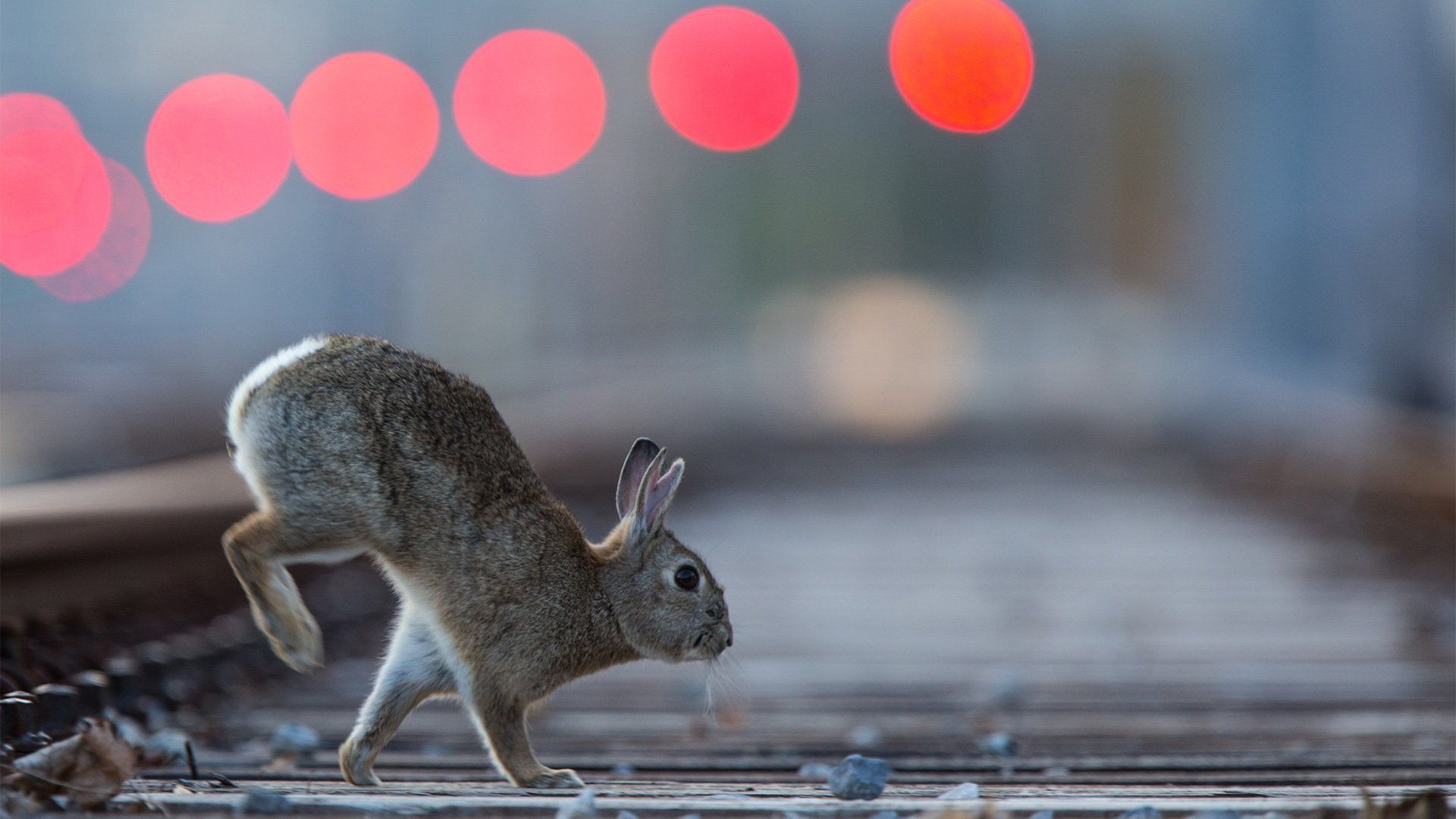 A rabbit runs across a train track in Vienna.